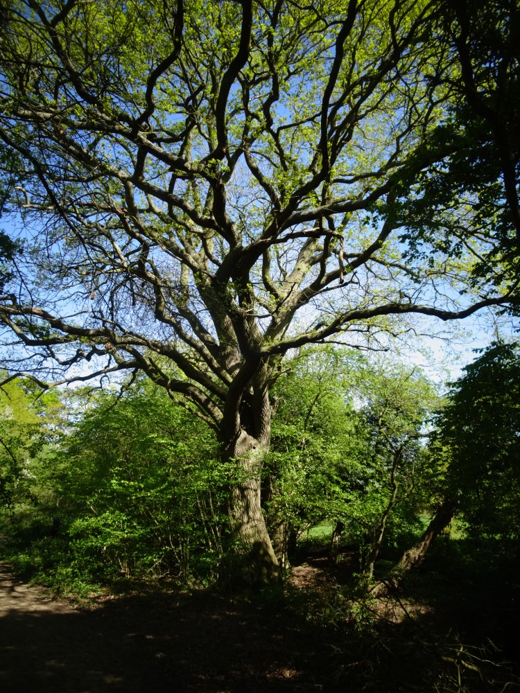 Large oak tree at Swaines Green