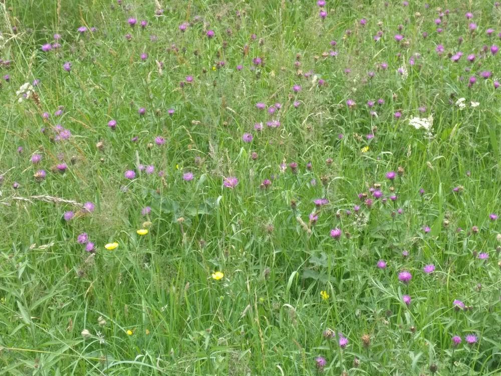 The flower meadow at Lovelocks, July 2020