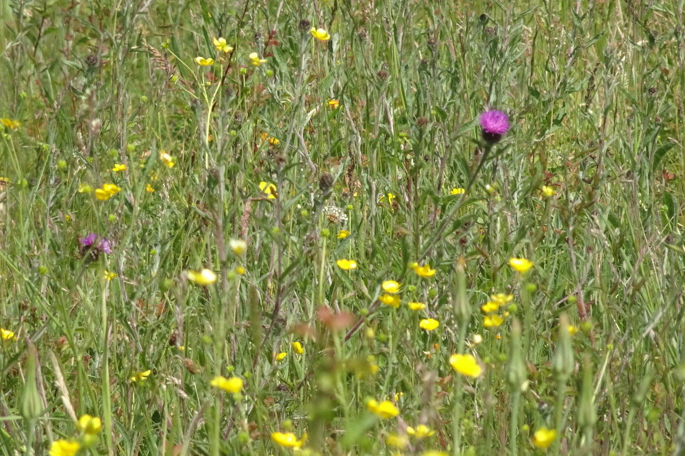 Midsummer Nature Report from Swaines Green